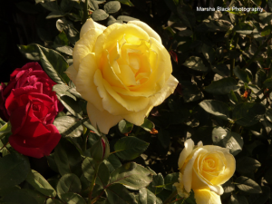Showcasing Roses at the Wasco Festival of Roses Parade and Arts and Crafts Faire
