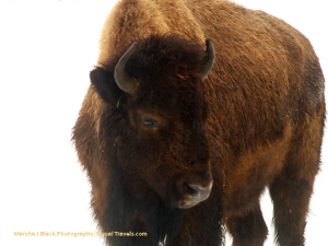 Ode to the Bison: United States National Mammal
