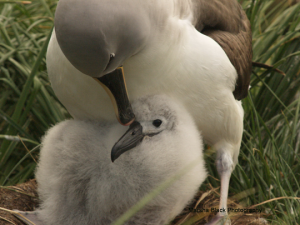 Nesting Albatross Mother and Chick | Photo: Marsha J Black