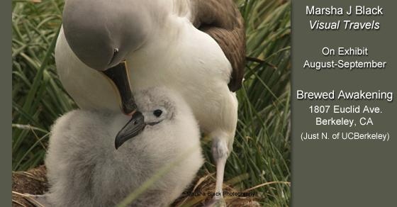 "Nesting Albatross mother tending  gently to her chick | Photo: Marsha J Black | Part of Marsha J Black ""Visual Travels"" Exhibit at Brewed Awakening in Berkeley, CA"