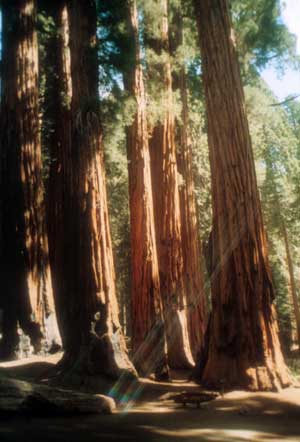 Photographic print: Big Trees at Sequoia National Park | Photo: Marsha J Black
