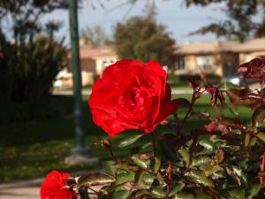 Photo of Red Summer Rose | Photo: Marsha J Black