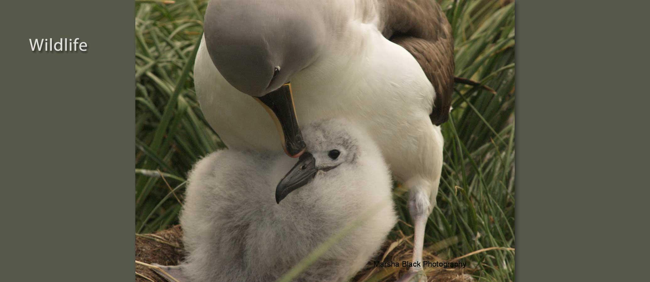 Nesting-Albatross-Marsha-J-Black-900