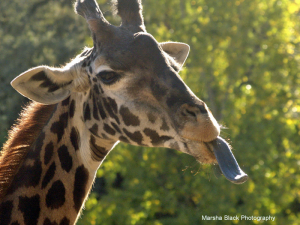 "Inquisitive Giraffe at ""Tasting Time,"" sticking its tongue out tasting the air to see what's going on. 